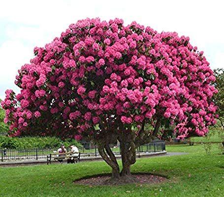 Giant Pink Sakura Cherry Tree Seeds Japanese Sakura Seeds Flower Seeds Oriental Cherry Shrub Perennial Plant Garden Bonsai Tree Perennial Shrubs Trees To Plant
