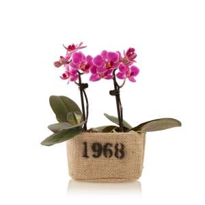 Just Add Ice Pink 4 In Rustic Mini Orchid Duo Plant In Burlap Pot 2 Stems 285205 The Home Depot Orchids Plants Orchid Plants