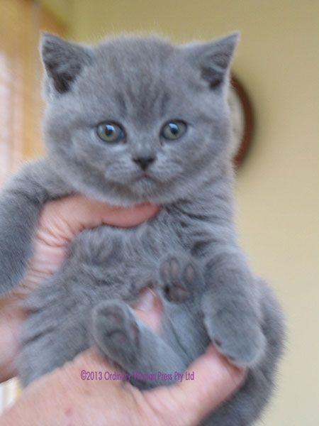 Life With A British Shorthair Cat British Blue Kitten British Blue Cat British Shorthair Kittens