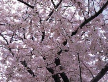 67 Ideas Fruit Trees Photography Cherry Blossoms Purple Leaf Sand Cherry Yoshino Cherry Tree Flowering Cherry Tree