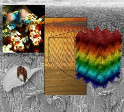 Mantis Shrimp Inspires Next Generation Of Ultra Strong Materials Newly Discovered Structural Motif Is Key To Tougher More Impact Resistant Composite Materials Mantis Shrimp Nature Inspired Design Nature Inspiration