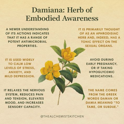 Look no farther than Damiana's botanical name, Turnera aphrodisiaca, for confirmation of its most celebrated action: as an aphrodisiac! More so, it is one of those herbs that provides awareness of being in our bodies and reminds us of the pleasure of being embodied. A gentle, tonic herb, Damiana is suitable for nearly everyone. It works on several levels to relax the nervous system, reduce pain and tension, elevate mood, and increase sensory capacity. Healing Herbs, Holistic Healing, Medicinal Plants, Natural Healing, Magic Herbs, Herbal Magic, Homeopathic Medicine, Herbal Medicine, Natural Health Remedies