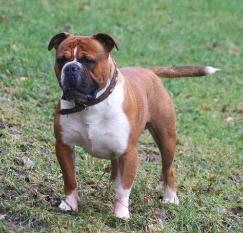 The Difference Between English Bulldogs And Olde English Bulldogge