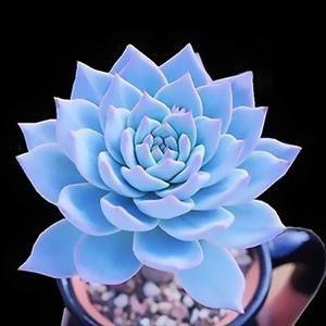 The Maui Succulent 100 Seeds Blue Succulents Succulents Succulent Seeds