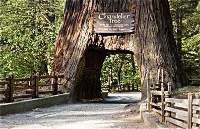 Redwood Forest - Chandelier Tree | cabin fever | Pinterest ...