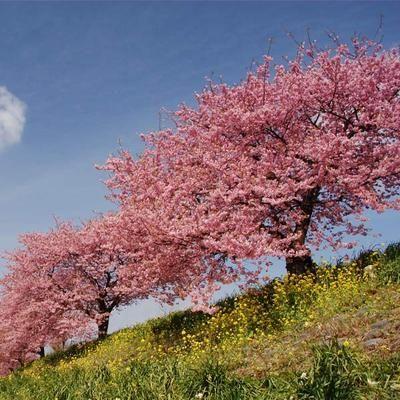 Kwanzan Cherry Tree Flowering Cherry Tree Flowering Trees Pink Flowering Trees