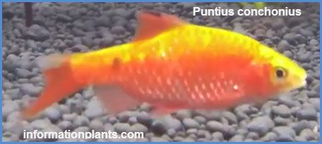 روزى بارب Rosy Barb سمك زينة انواع الاسماك معلومان عامه معلوماتية نبات حيوان اسماك فوائد Fish Pet Fish Pets