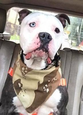 Adopt Eskimo On Dogs Animal Rescue Center American Bulldog Mix