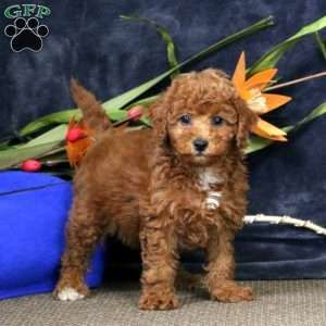 Cavapoo Puppies For Sale Cavapoo Dog Breed Info Greenfield Puppies Cavapoo Puppies Cavapoo Puppies For Sale Dog Breed Info