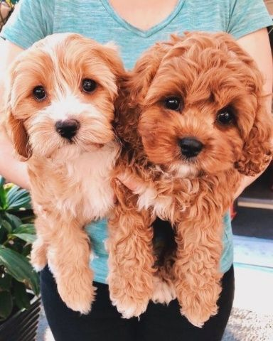 Vsco Create Discover And Connect Cute Baby Animals Cavapoo Puppies Cute Animals