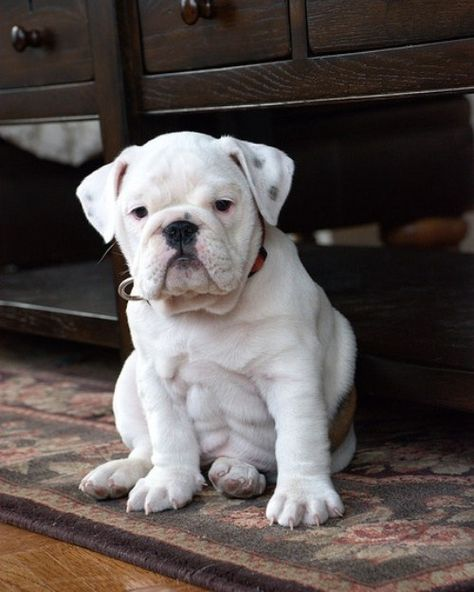 Thinking about getting an English Bulldog? Here are 10 adorable pictures of English Bulldogs to help you make up your mind!