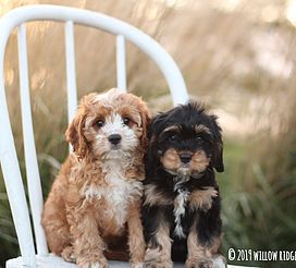 Willow Ridge Puppies For Sale Cavalier King Charles Cavapoo Iowa Puppies For Sale Puppies Forever Puppy