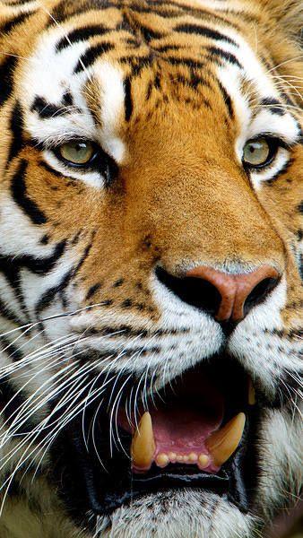 Samsung Galaxy S7 Tiger Wallpaper Tiger Wallpaper Tiger Wallpaper