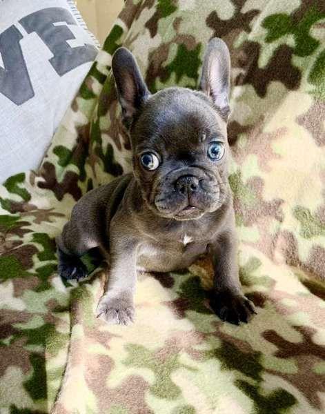 Gorgeous Blue Baby Boy Frenchieforsale Frenchie4sale Frenchbulldogforsale Frenchbulldog Frenc French Bulldog Puppies Fawn French Bulldog Frenchie Bulldog