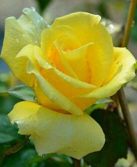 Fiori Gialli Rose.Gorgeous Yellow Rose Con Immagini Rose Gialle Fiori