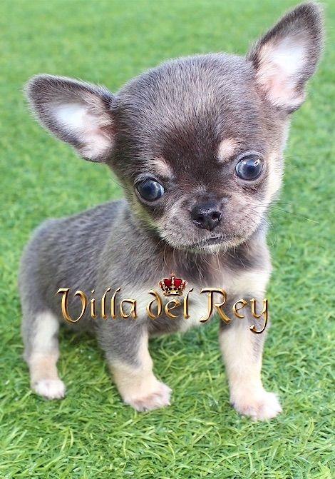 Blue Chihuahua Puppy Chihuahua Puppies Puppies Chihuahua