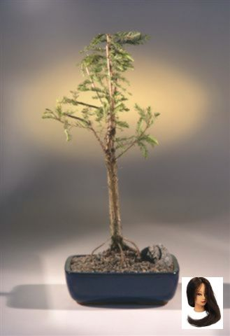 Bald Bonsai Bonsai Trees Symbolism Cypress Distichum Taxodium Tree Bald Cypress Bonsai Tree Taxodium Distichum Bald Cypress Bonsai Tree Taxodium