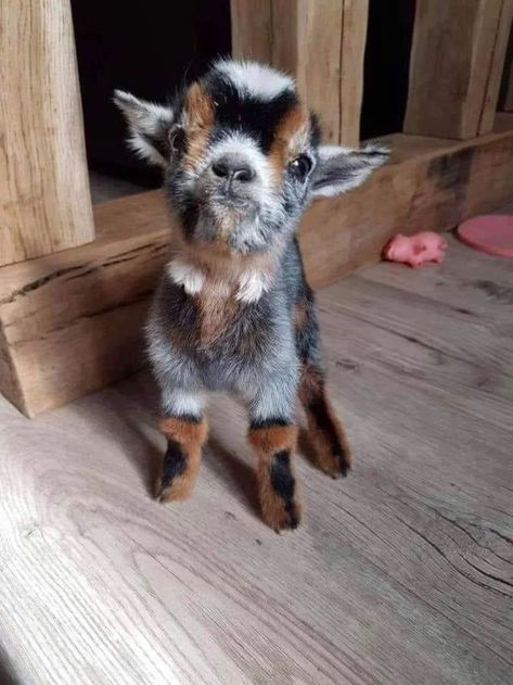 Sometimes you just need a baby goat in your life (Credits: Jacqui Peck)