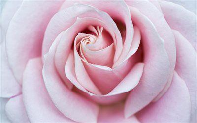 Scarica Sfondi Bocciolo Di Una Rosa Fiore Rose Rosa Macro Petali