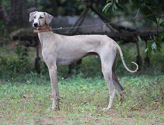 All About Kanni Dog Hound Dog Breeds Dogs Dog Breeds
