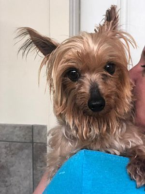 New York Ny Yorkie Yorkshire Terrier Meet Aretha A Pet For
