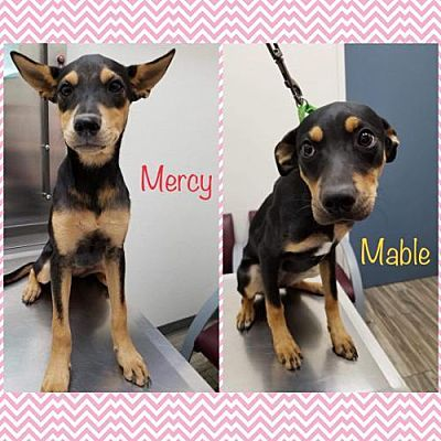 Pictures Of Mercy And Mable A Rottweiler For Adoption In New York Ny Who Needs A Loving Home Dog Adoption Rottweiler Puppies Dogs