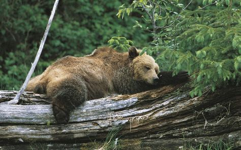 A grizzly near the Knight Inlet Lodge.