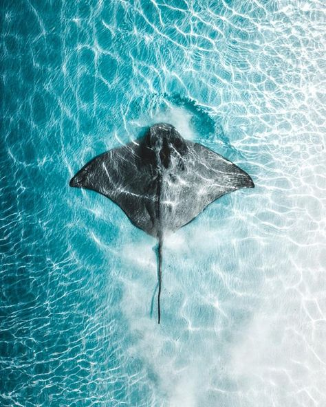 🔥 Aerial view of an Eagle Ray: NatureIsFuckingLit