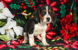 Puppies For Sale Bowwow Hollow Puppies Puppies For Sale