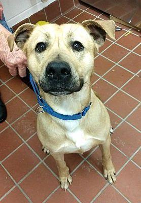 Johnstown Pa Labrador Retriever Meet Marvin A Dog For Adoption