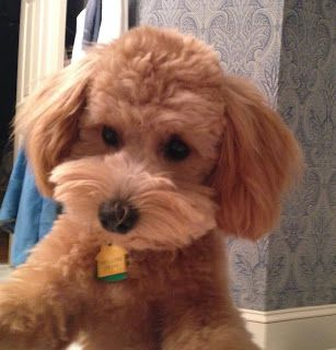 Growing Puppies Virginia Schnoodle Breeder Hypoallergenic Dogs Gallery Schnoodle Hypoallergenic Dogs Dogs