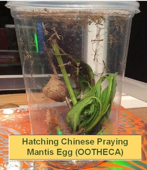 Two Chinese Praying Mantis Eggs Fresh For 2020 Bonus Free Fruit