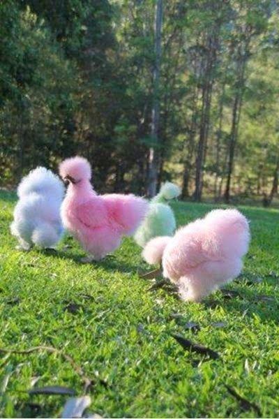 cotton candy silkie chicken