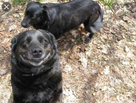 smiling dog - cheesy grin #smilingdogs #happydogs #funnydogs #smilingdogphotos #smilinganimals