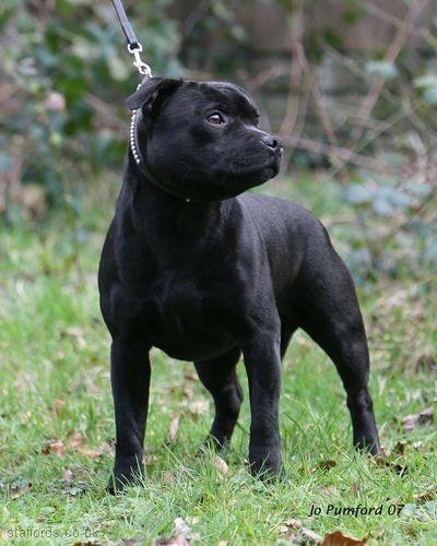 Standard Dello Staffordshire Bull Terrier Staffordshire Bull Terrier Bull Terrier Dog Breeds