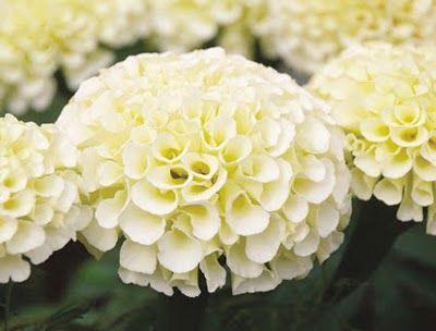 White Marigold