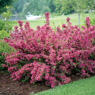 Proven Winners - Sonic Bloom® Pink - Reblooming Weigela - Weigela florida pink plant details, information and resources.