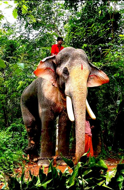 Thechikottukavu Ramachandran Hd Images With Images Elephant
