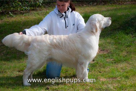 White Golden Retriever Show Champion Dog Beautiful English