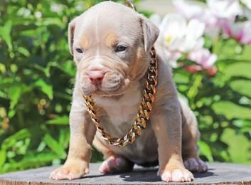 Pitbull Puppies Big Pups Xl Blue Pitbull Puppies American Pitbull Terrier Puppy Pitbull Terrier Puppies