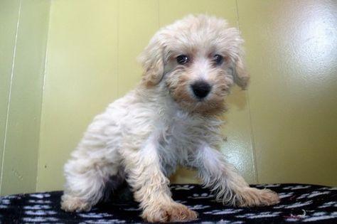 Poodle (Standard)Schnauzer (Miniature) Mix puppy for sale