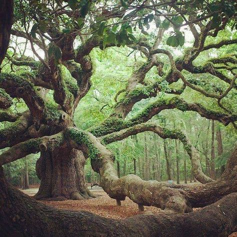 Wonderful old tree! The beautiful ancient Angel Oak Tree in Angel Oak Park, on Johns Island, Southern Carolina. this Oak tree is well over 1800 yrs old. Angel Oak Trees, Tree Angel, Unique Trees, Old Trees, Old Oak Tree, Tree Branches, Nature Tree, Flowers Nature, Tree Forest