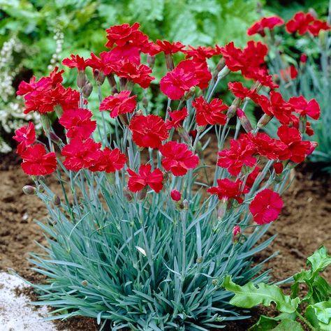 Fire Star Dianthus Wildflower Seeds