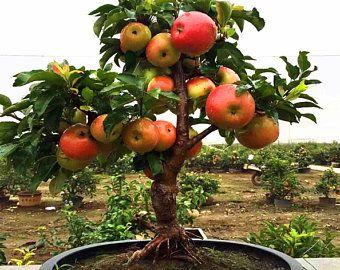Bonsai Dwarf Mini Grapes Seed Tree Vine 50 Rare Grape Seeds Fruit In 2021 Indoor Fruit Trees Bonsai Fruit Tree Fruit Tree Garden