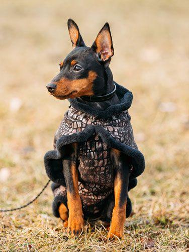 Zwergpinscher Hunde Zwergpinscher Susseste Haustiere Hund Auto