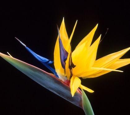 Fleur Oiseau De Paradis Entretien Arrosage Et Rempotage Fleurs Oiseaux De Paradis Les Plus Belles Fleurs Et Fleurs Oiseaux