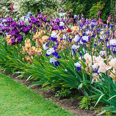 Reblooming German Iris Reblooming Mix K Van Bourgondien Beautiful Flowers Garden Home Vegetable Garden Flower Garden