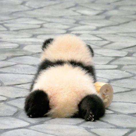 Panda - Psalm of Cat Baby Animals Super Cute, Cute Little Animals, Cute Funny Animals, Cute Cats, Baby Animals Pictures, Cute Animal Photos, Baby Panda Bears, Cute Panda Baby, Baby Pandas