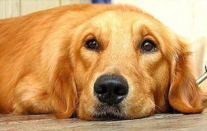 Labrador Retriever Vs Golden Retriever Dog Vs Dog Comparison