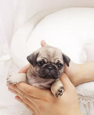 Extreme Micro Teacup Pug Celebrity Dogs Tiny Teacup Puppy For